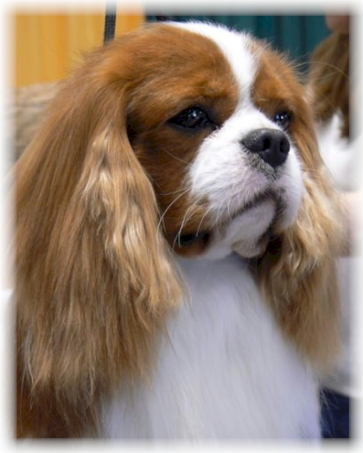 Ch Castlekeep Magic Dragon Champion Cavalier King Charles Spaniel