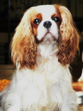 Ch Charterwood Damask Cavalier King Charles Spaniel