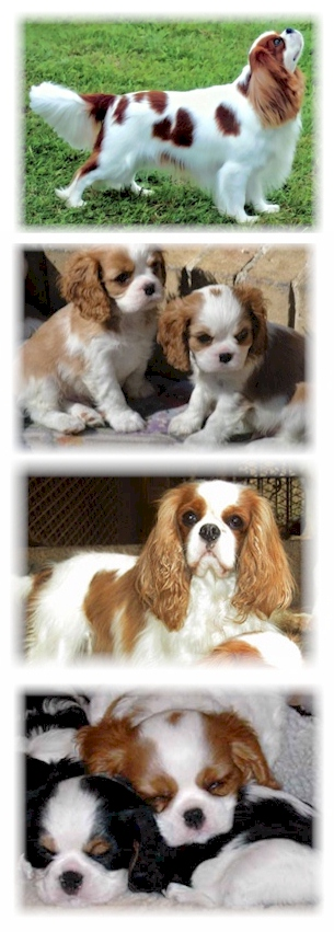 Some of Castlekeep Cavaliers beautiful Cavalier King Charles Spaniel puppies and dogs - Breeders of Champion Cavaliers in Arizona