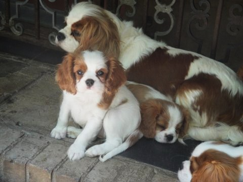 Cavalier mom and puppies