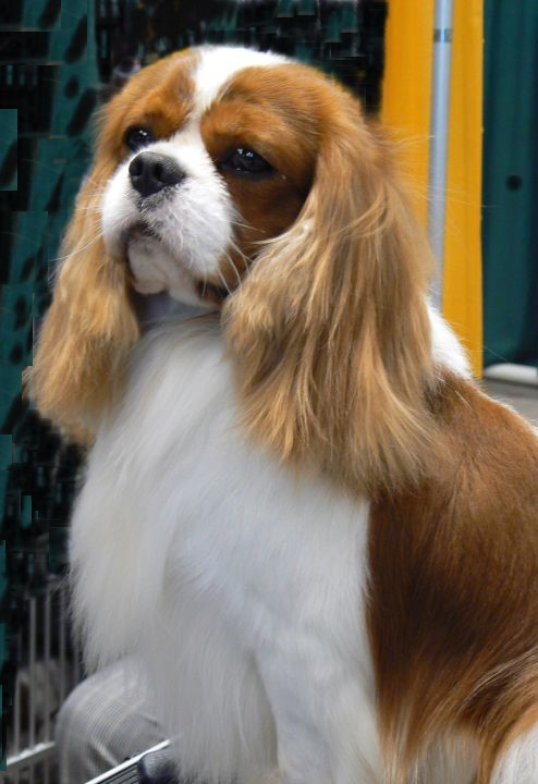 Ch Castlekeep Magic Dragon Cavalier King Charles Champion