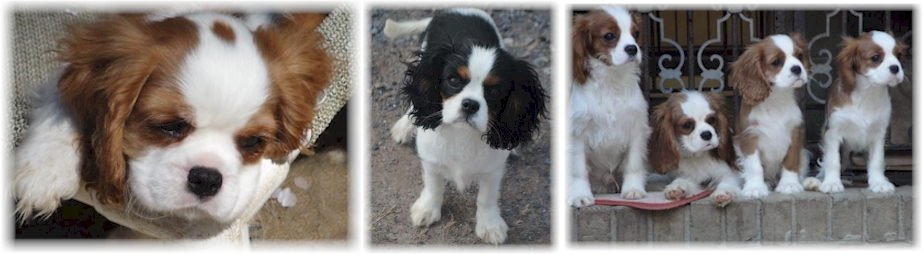 Cavalier King Charles Spaniel Puppies by Castlekeep Breeder of Champion Cavaliers